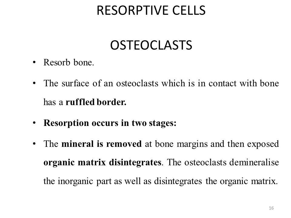 RESORPTIVE CELLS OSTEOCLASTS Resorb bone.