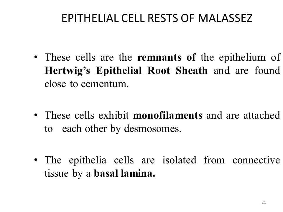 EPITHELIAL CELL RESTS OF MALASSEZ These cells are the remnants of the epithelium of Hertwig's Epithelial Root Sheath and are found close to cementum.