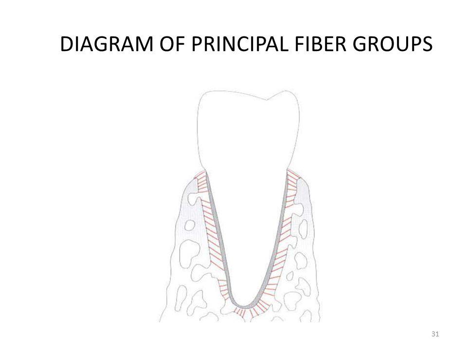 DIAGRAM OF PRINCIPAL FIBER GROUPS 31