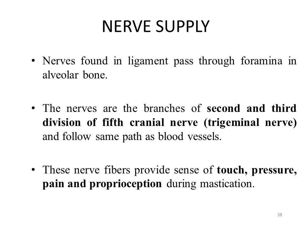 NERVE SUPPLY Nerves found in ligament pass through foramina in alveolar bone.
