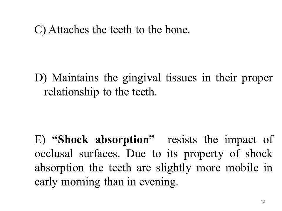C) Attaches the teeth to the bone.C) Attaches the teeth to the bone.