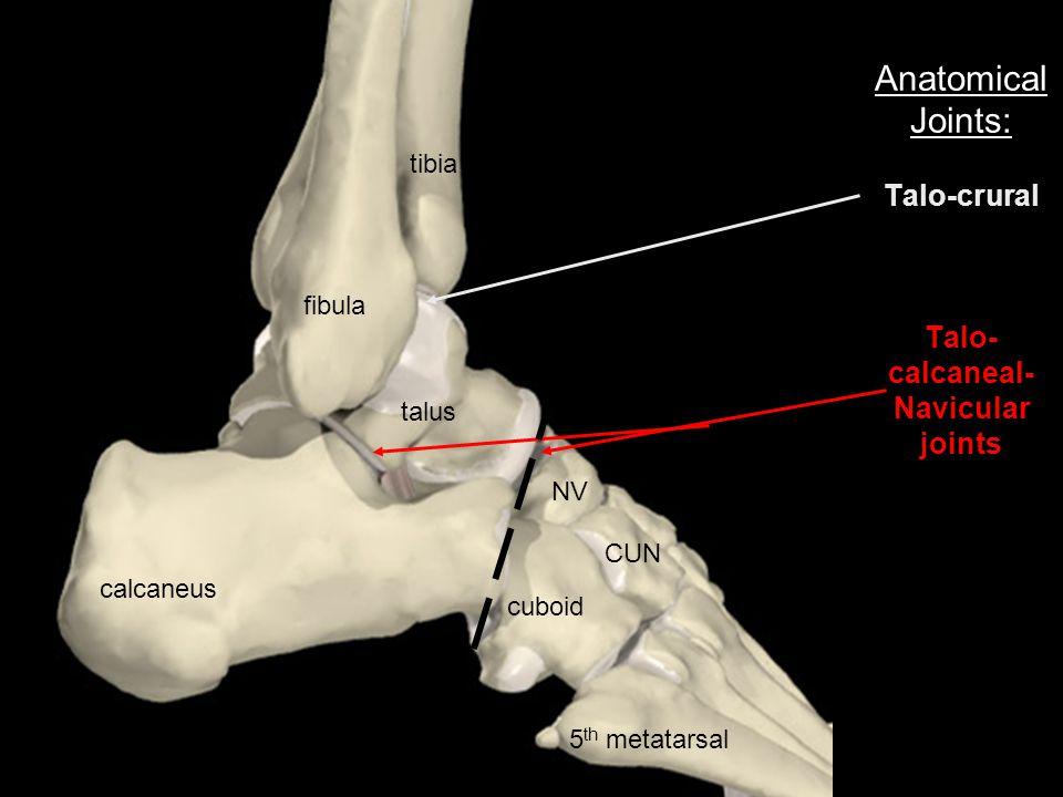 Anatomical Joints: Talo-crural Talo- calcaneal- Navicular joints ANKLE lateral Transverse tarsalfibula tibia calcaneus cuboid talus 5 th metatarsal NV