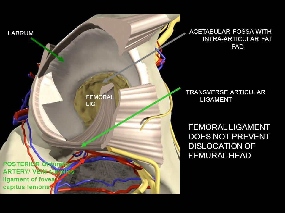 ACETABULAR FOSSA WITH INTRA-ARTICULAR FAT PAD TRANSVERSE ARTICULAR LIGAMENT FEMORAL LIG. POSTERIOR Obturator ARTERY/ VEIN supplies ligament of fovea c