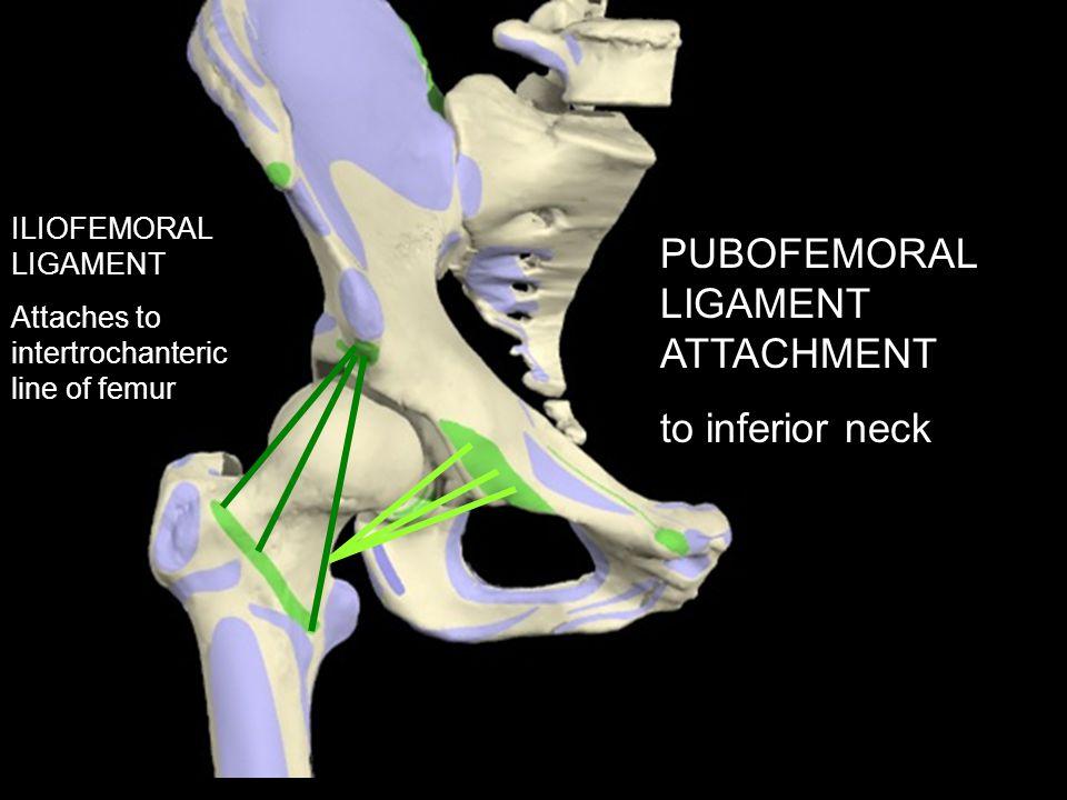 PUBOFEMORAL LIGAMENT ATTACHMENT to inferior neck ILIOFEMORAL LIGAMENT Attaches to intertrochanteric line of femur