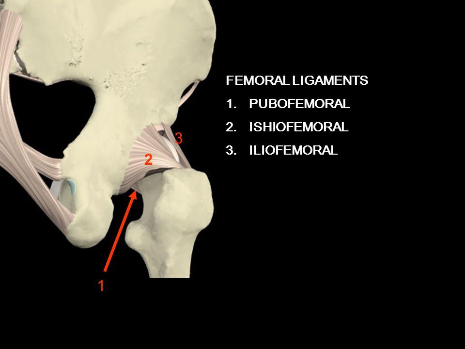ANTERIOR VIEW FEMORAL LIGAMENTS 1.PUBOFEMORAL 2.ISHIOFEMORAL 3.ILIOFEMORAL 2 3 1