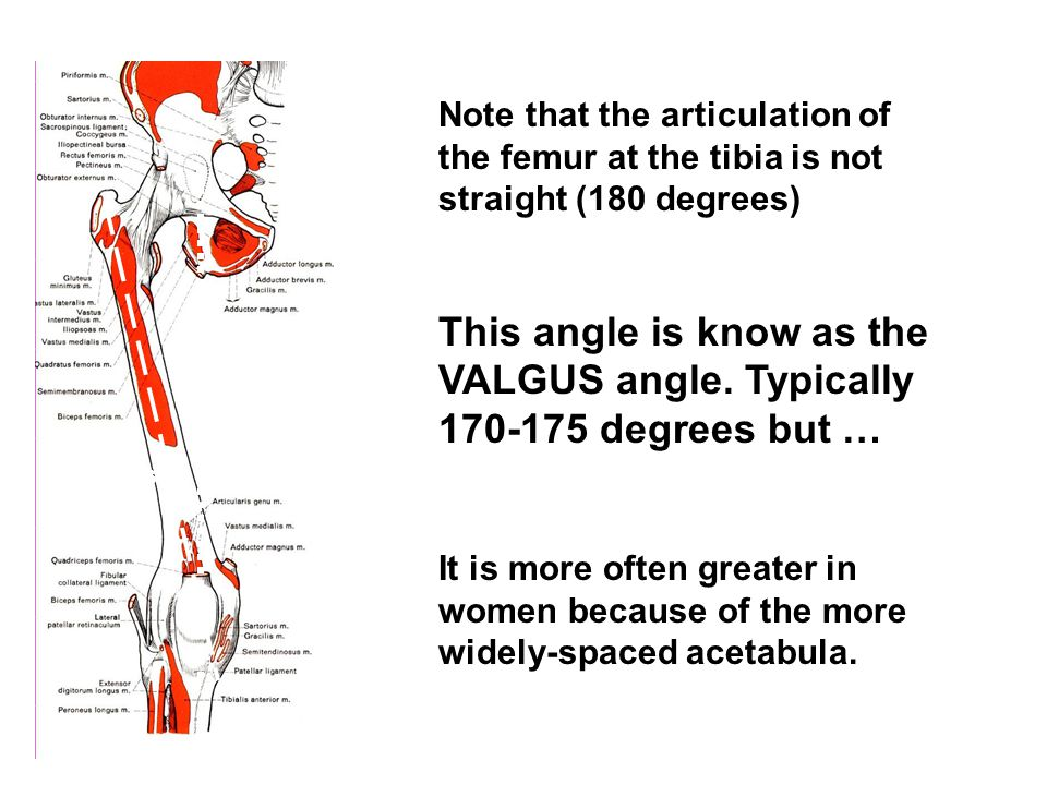 Note that the articulation of the femur at the tibia is not straight (180 degrees) This angle is know as the VALGUS angle.