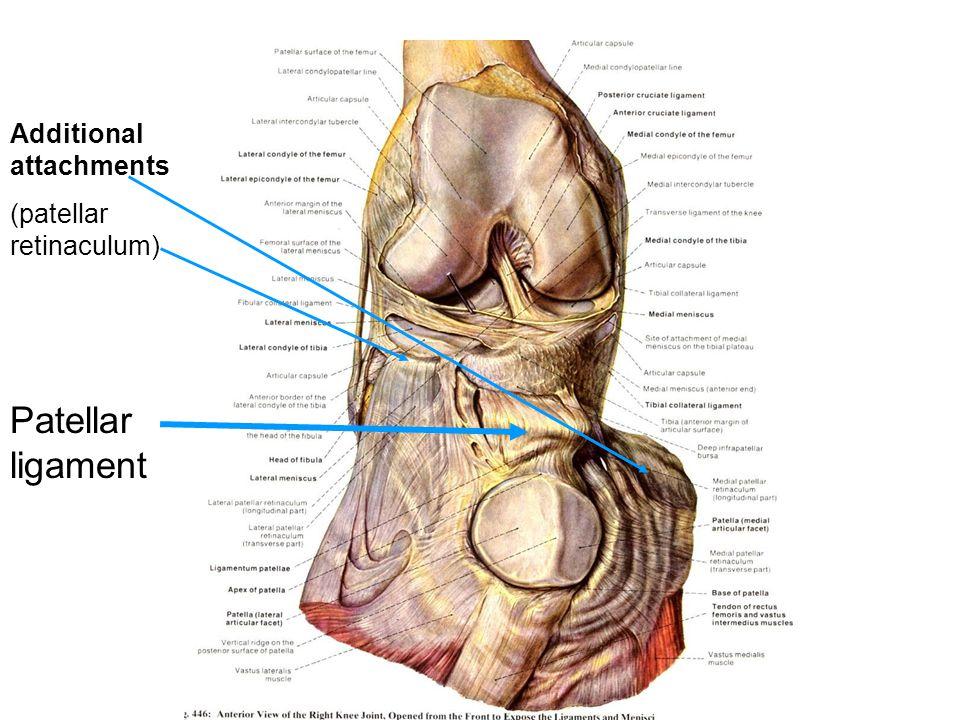 Patellar ligament Additional attachments (patellar retinaculum)