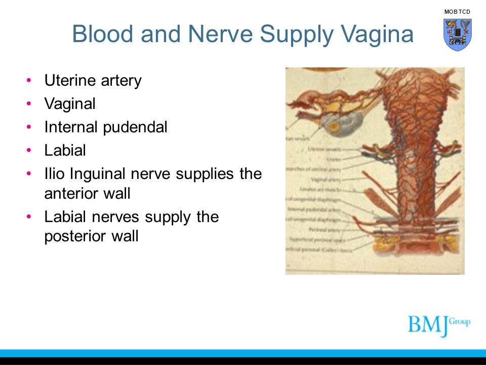 Blood and Nerve Supply Vagina Uterine artery Vaginal Internal pudendal Labial Ilio Inguinal nerve supplies the anterior wall Labial nerves supply the posterior wall MOB TCD