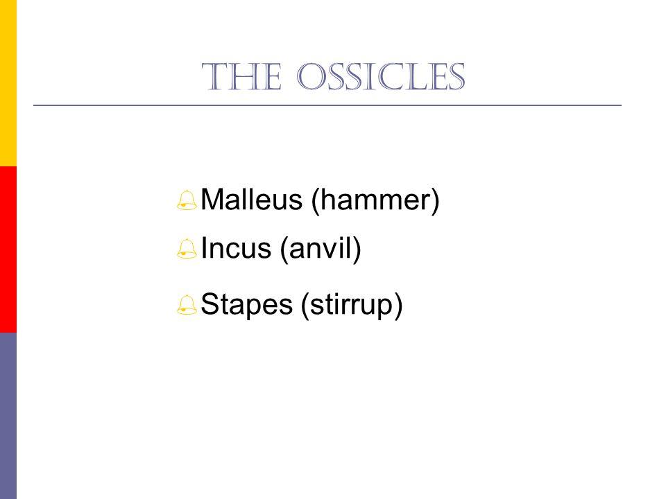 The malleus  Manubrium  Neck  Head  Lateral process