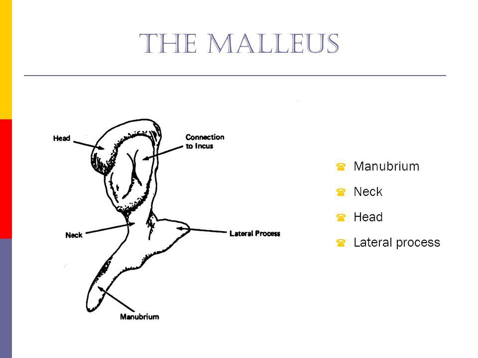 The malleus