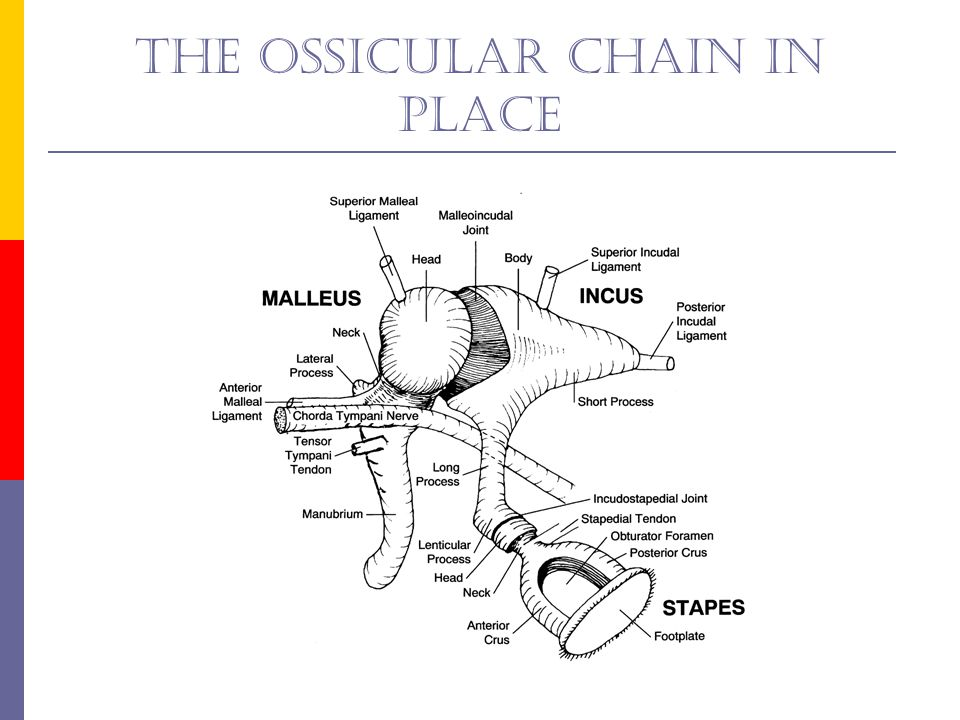 Purpose of the ossicuar chain  Impedance matching  Protection