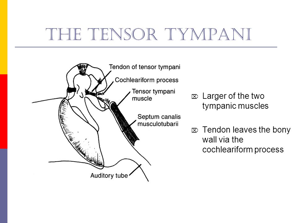 The stapedius  The smaller of the two tympanic muscles  Tendon leaves the bony wall via the apex of the pyramidal eminence