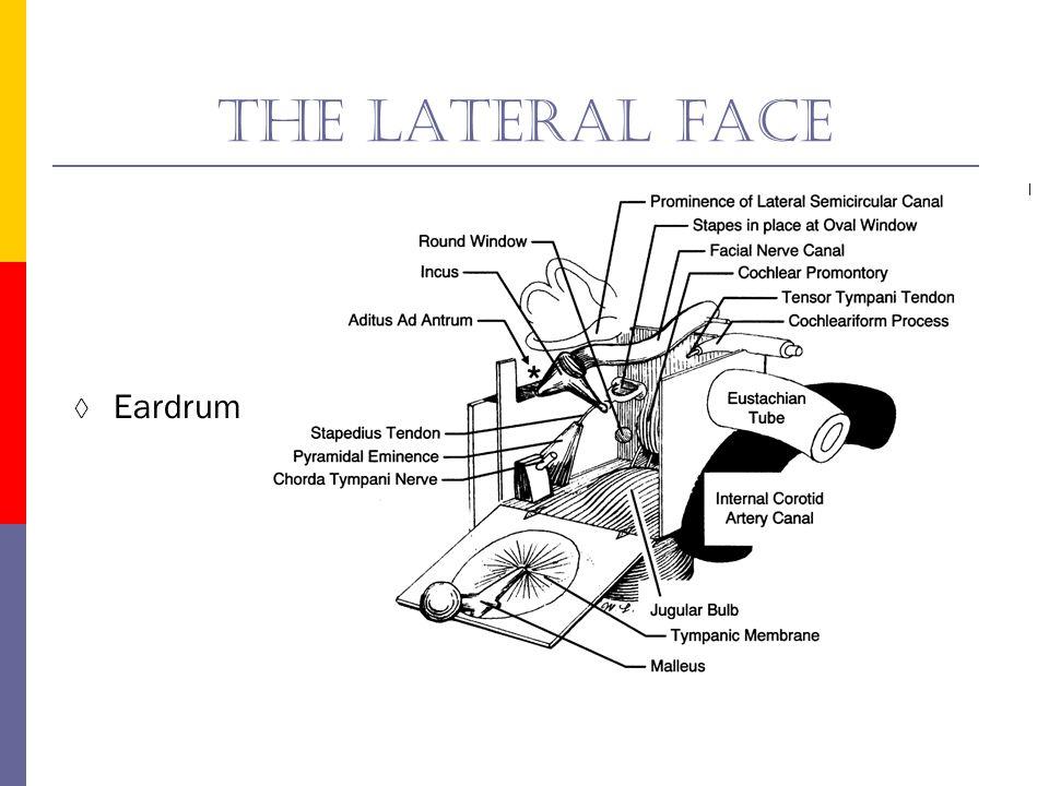 The posterior face Mastoid wall Tympanic aditus Pyramidal eminence Chorda tympani nerve
