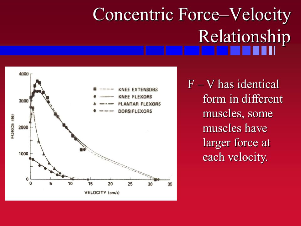 Concentric Force–Velocity Relationship F – V has identical form in different muscles, some muscles have larger force at each velocity.