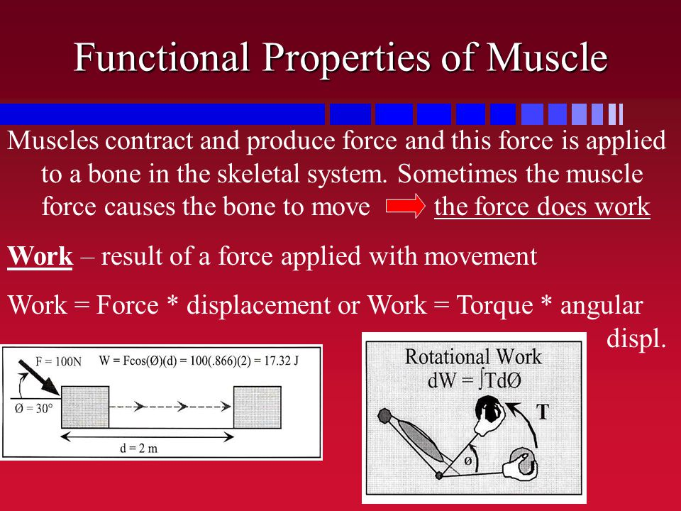 Functional Properties of Muscle Muscles contract and produce force and this force is applied to a bone in the skeletal system. Sometimes the muscle fo