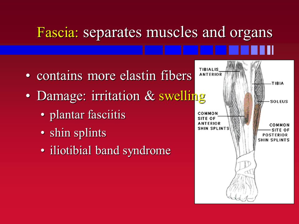 Fascia: separates muscles and organs contains more elastin fiberscontains more elastin fibers Damage: irritation & swellingDamage: irritation & swelli