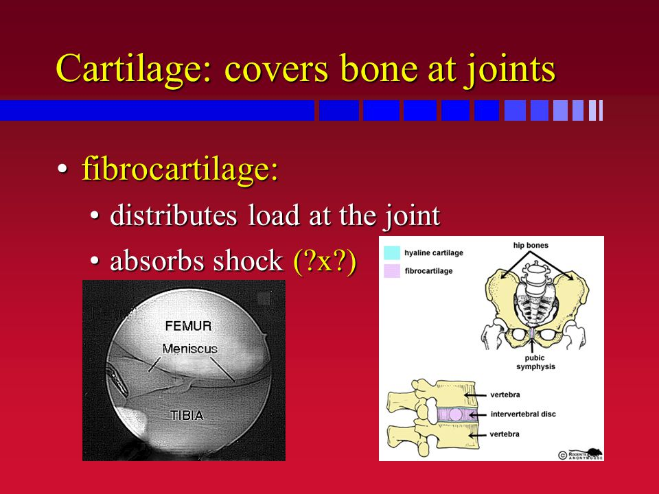 Cartilage: covers bone at joints fibrocartilage:fibrocartilage: distributes load at the jointdistributes load at the joint absorbs shock (?x?)absorbs