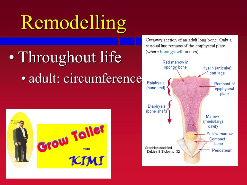 Remodelling Throughout lifeThroughout life adult: circumferenceadult: circumference