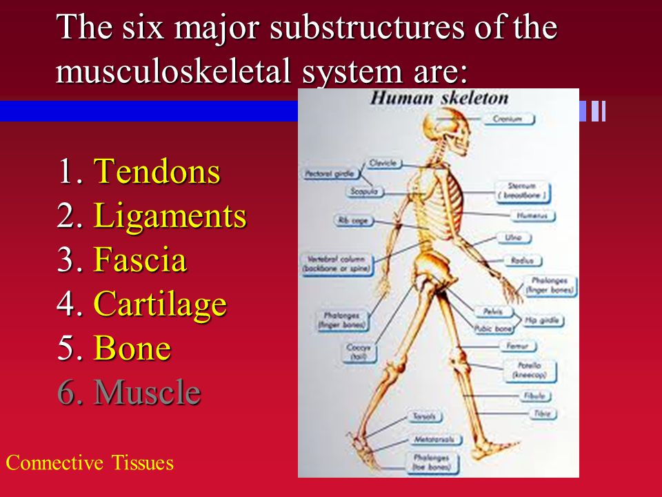 The six major substructures of the musculoskeletal system are: 1. Tendons 2. Ligaments 3. Fascia 4. Cartilage 5. Bone 6. Muscle Connective Tissues