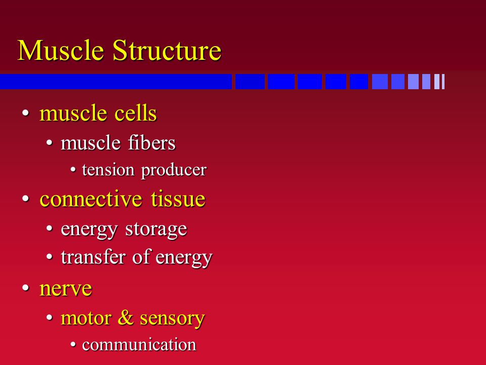 Muscle Structure muscle cellsmuscle cells muscle fibersmuscle fibers tension producertension producer connective tissueconnective tissue energy storag
