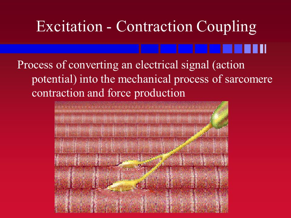 Excitation - Contraction Coupling Process of converting an electrical signal (action potential) into the mechanical process of sarcomere contraction a