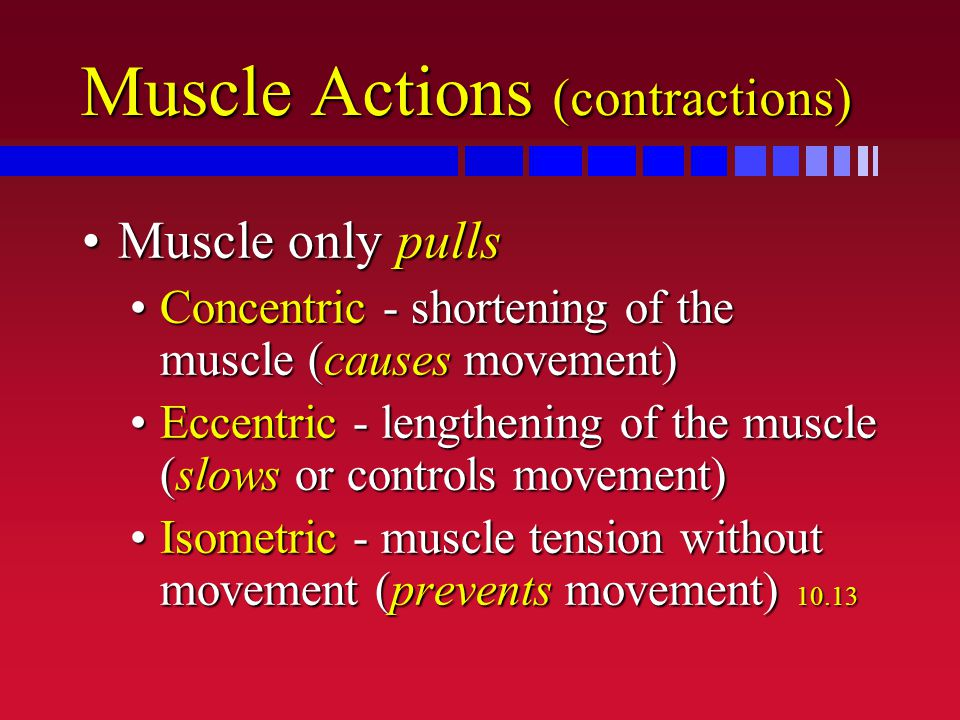 Muscle Actions (contractions) Muscle only pullsMuscle only pulls Concentric - shortening of the muscle (causes movement)Concentric - shortening of the