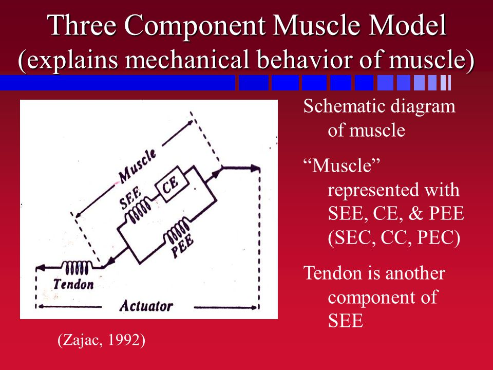 "Three Component Muscle Model (explains mechanical behavior of muscle) Schematic diagram of muscle ""Muscle"" represented with SEE, CE, & PEE (SEC, CC, P"
