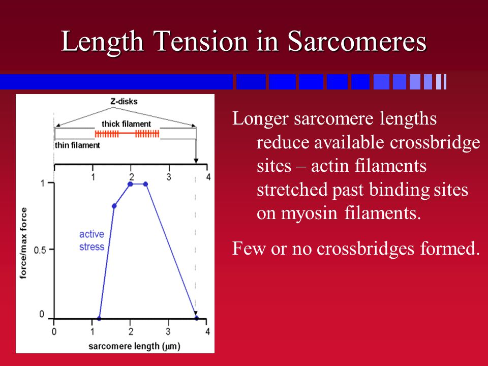 Length Tension in Sarcomeres Longer sarcomere lengths reduce available crossbridge sites – actin filaments stretched past binding sites on myosin fila