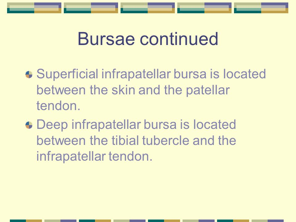 Bursae continued Superficial infrapatellar bursa is located between the skin and the patellar tendon. Deep infrapatellar bursa is located between the