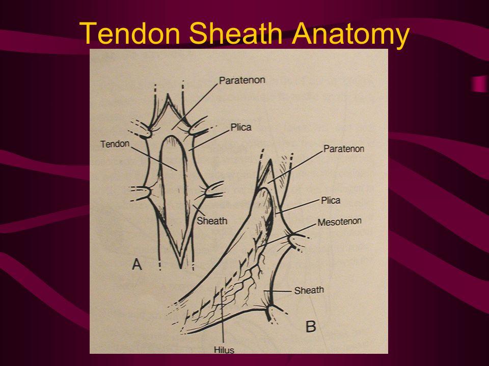 Tendon Sheath Anatomy