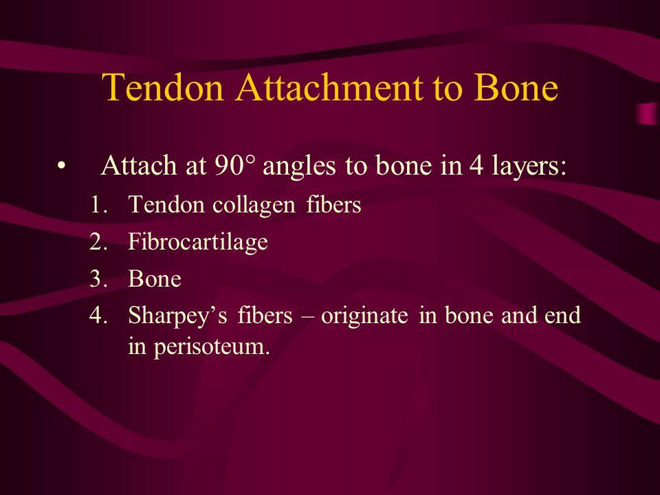 Tendon Attachment to Bone Attach at 90° angles to bone in 4 layers: 1.Tendon collagen fibers 2.Fibrocartilage 3.Bone 4.Sharpey's fibers – originate in