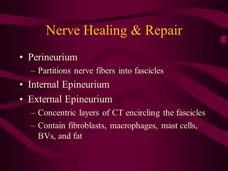 Nerve Healing & Repair Perineurium –Partitions nerve fibers into fascicles Internal Epineurium External Epineurium –Concentric layers of CT encircling
