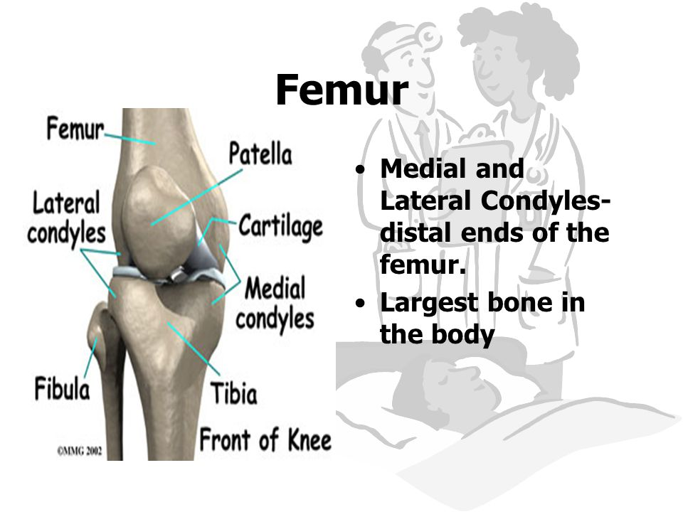 Femur Medial and Lateral Condyles- distal ends of the femur. Largest bone in the body