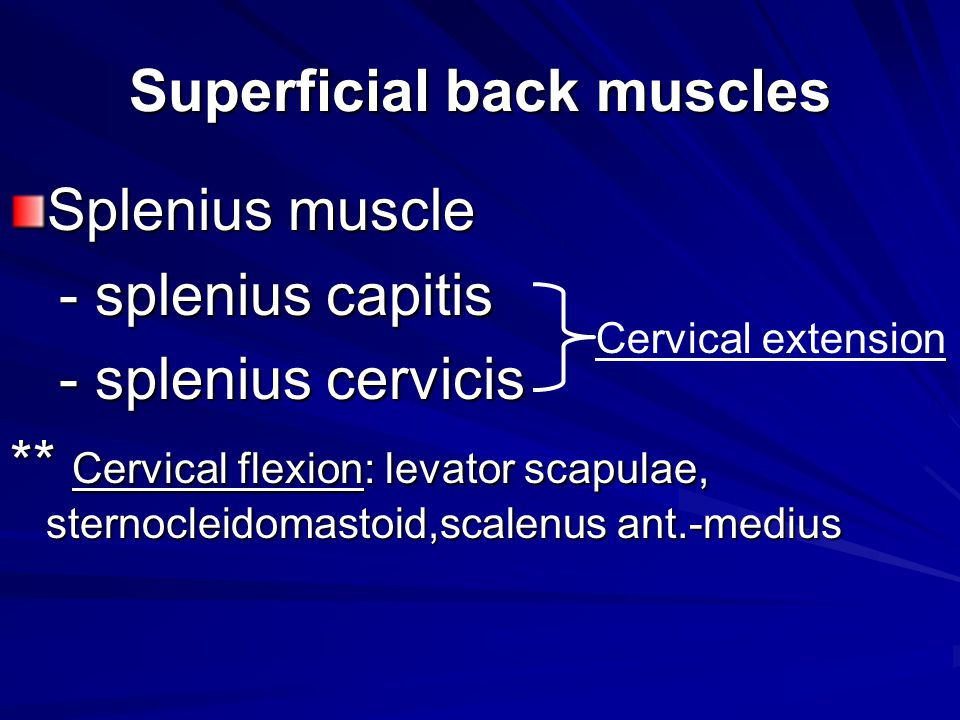 Superficial back muscles Splenius muscle - splenius capitis - splenius capitis - splenius cervicis - splenius cervicis ** Cervical flexion: levator sc