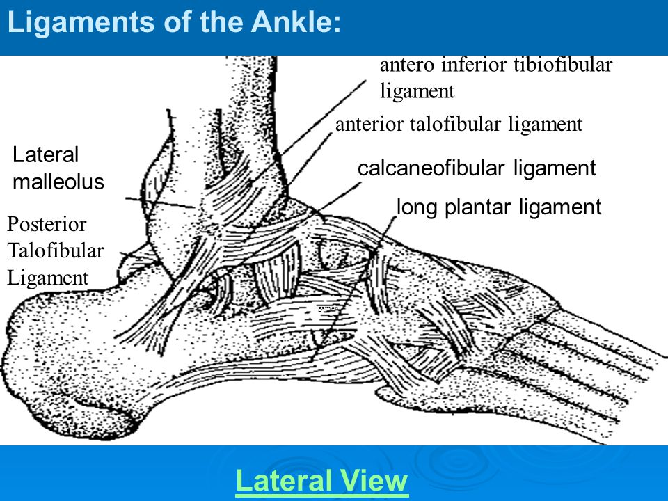 Medial view Talonavicular ligament navicular talus deltoid ligament medial malleolus Calcaneonavicular ligament Long plantar ligament