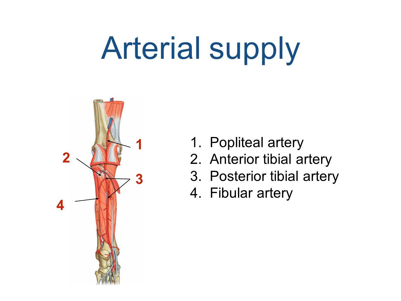 Arterial supply 1 2 3 4 1.Popliteal artery 2.Anterior tibial artery 3.Posterior tibial artery 4.Fibular artery