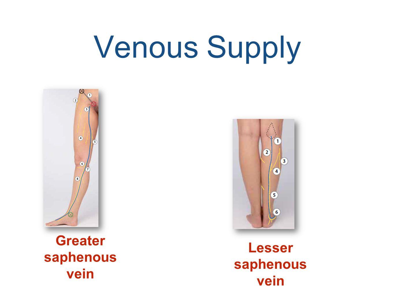 Venous Supply Greater saphenous vein Lesser saphenous vein