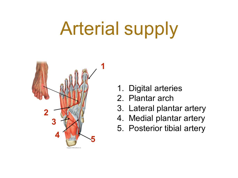 Arterial supply 2 1 3 4 5 1.Digital arteries 2.Plantar arch 3.Lateral plantar artery 4.Medial plantar artery 5.Posterior tibial artery