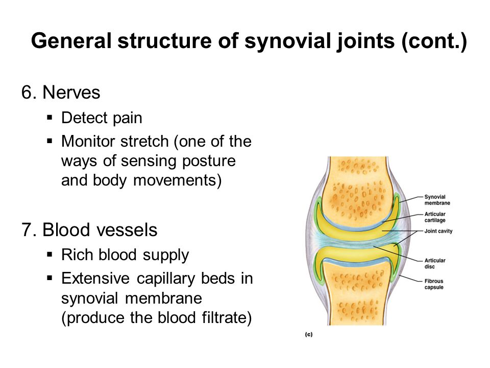 General structure of synovial joints (cont.) 6. Nerves  Detect pain  Monitor stretch (one of the ways of sensing posture and body movements) 7. Bloo