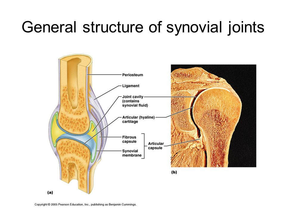 General structure of synovial joints