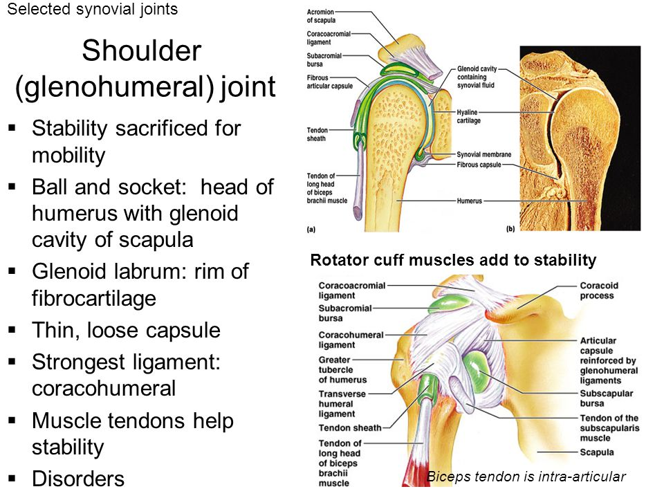 Shoulder (glenohumeral) joint  Stability sacrificed for mobility  Ball and socket: head of humerus with glenoid cavity of scapula  Glenoid labrum: