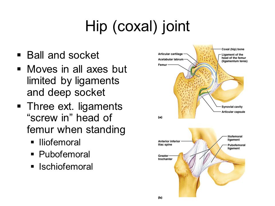 """Hip (coxal) joint  Ball and socket  Moves in all axes but limited by ligaments and deep socket  Three ext. ligaments """"screw in"""" head of femur when"""