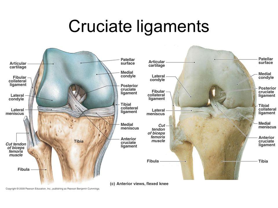 Cruciate ligaments