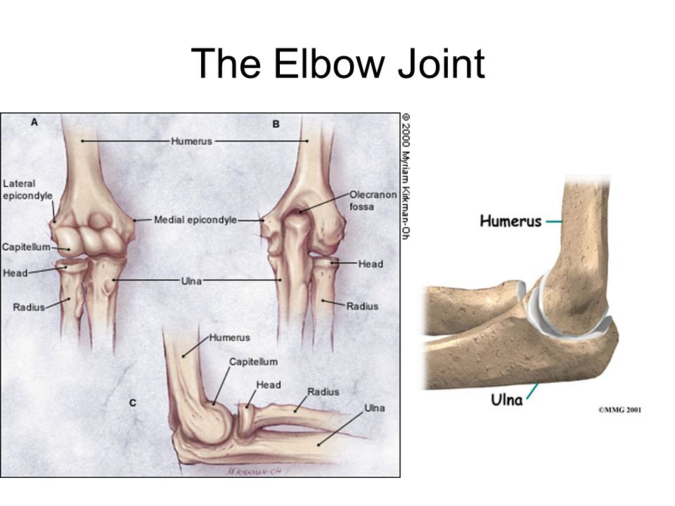 Elbow joint Elbow Joint type: –Synovial – hinge Articular surfaces: –Humeroulnar ( trochla of humerus+ trochlear notch of ulna ) –Humeroradial (capitulum of humerus + upper surface of head of radius) Capsule and synovial membrane are common for elbow & SRUJ Capsule is attached to humerus, ulna & unular ligament.