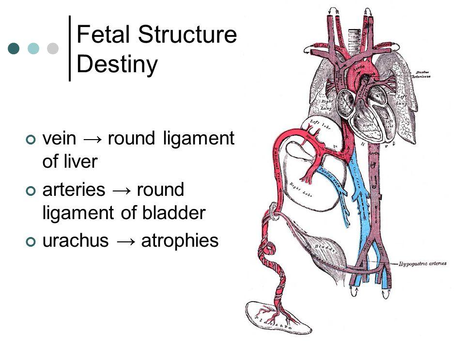 vein → round ligament of liver arteries → round ligament of bladder urachus → atrophies Fetal Structure Destiny