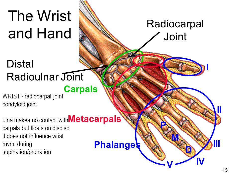 15 Carpals Metacarpals Phalanges P M D I II III IV V Radiocarpal Joint Distal Radioulnar Joint The Wrist and Hand WRIST - radiocarpal joint condyloid