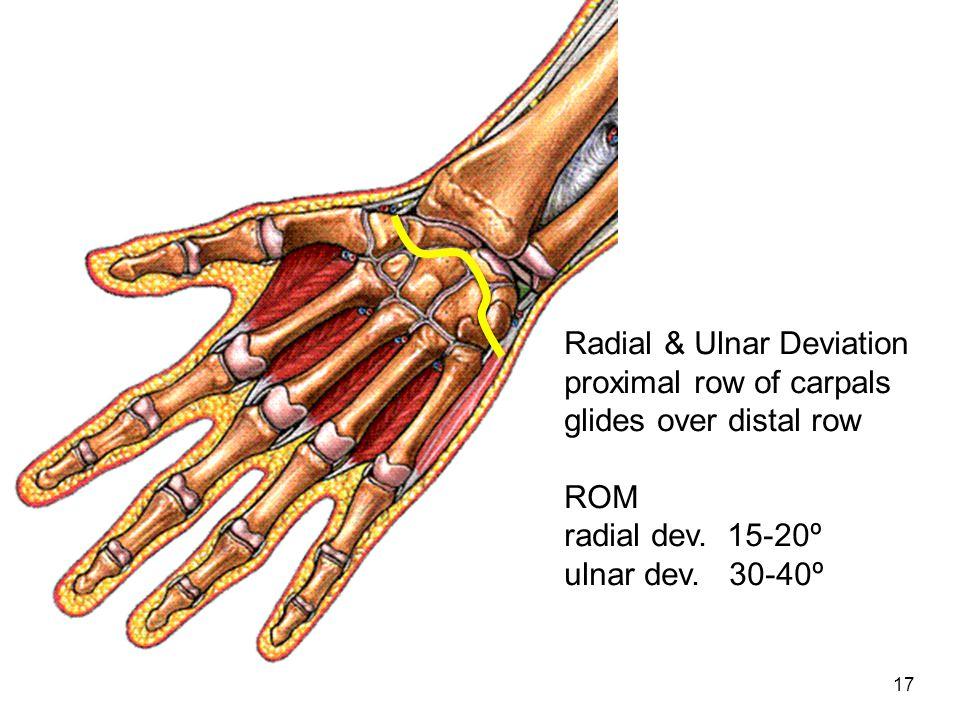 17 Radial & Ulnar Deviation proximal row of carpals glides over distal row ROM radial dev. 15-20º ulnar dev. 30-40º