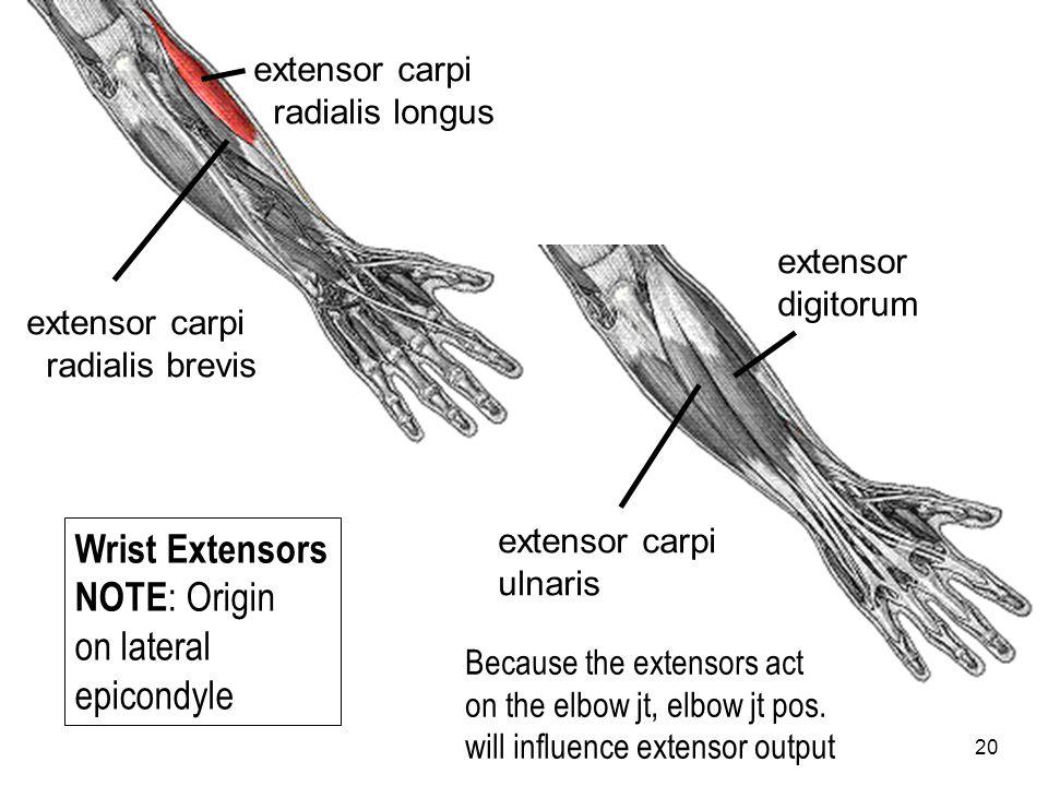 20 extensor carpi radialis longus extensor carpi radialis brevis extensor carpi ulnaris extensor digitorum Wrist Extensors NOTE : Origin on lateral ep