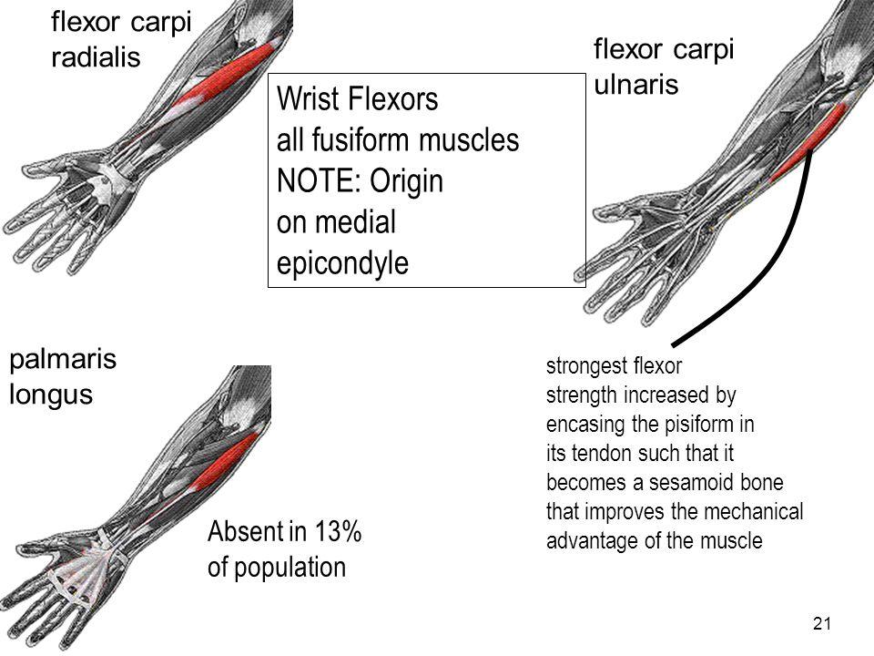 21 flexor carpi ulnaris Wrist Flexors all fusiform muscles NOTE: Origin on medial epicondyle flexor carpi radialis palmaris longus Absent in 13% of po