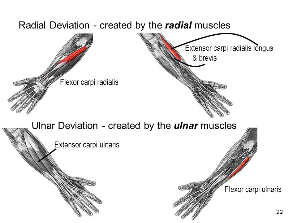 22 Radial Deviation - created by the radial muscles Flexor carpi radialis Extensor carpi radialis longus & brevis Ulnar Deviation - created by the uln
